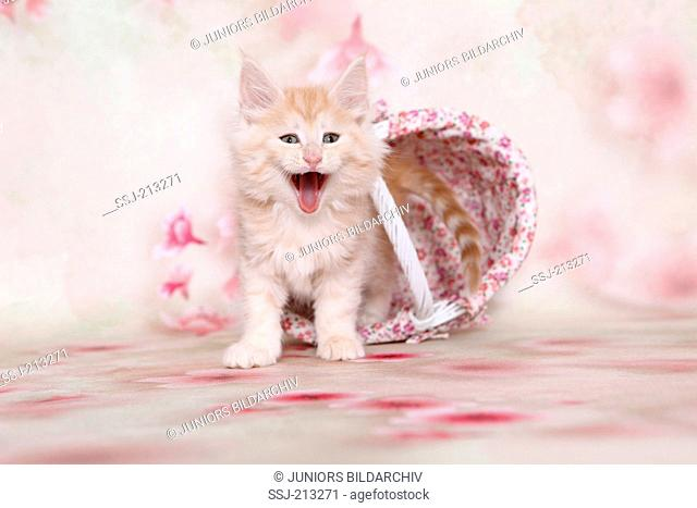 American Longhair, Maine Coon. Kitten in a shopping basket, seen against a light background with Cherry flower print, yawning. Germany