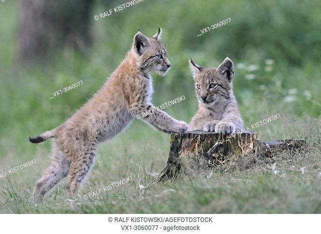 Two cute juvenile Eurasian Lynx ( Lynx lynx ) playing with each other, looks cute, Europe