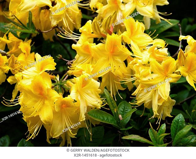 Yellow rhododendron blossoms, Hampshire, England