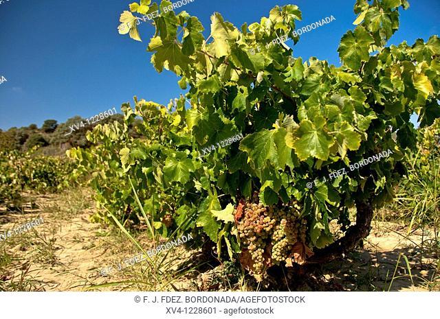 Grape Harvest in Somontano  Barbastro  Huesca  Spain  Europe