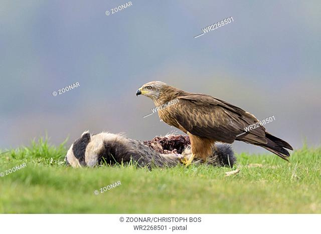Black Kite, Milvus migrans