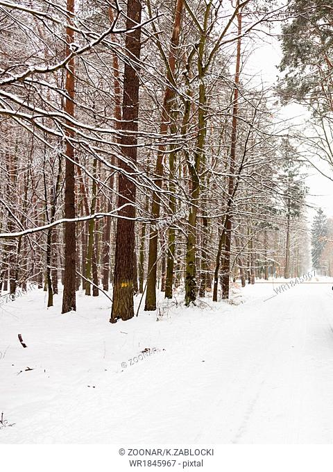 Snow alley road in winter forest