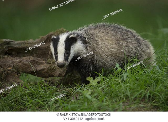 Young European Badger ( Meles meles ) looks directly into the camera, wildlife, Europe