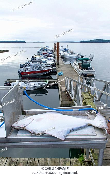 25 Kg., Halibut ready for dressing, Port McNeill, Vancouver Island, British Columbia, Canada