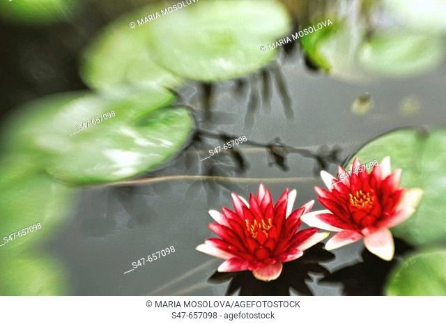 Two Red Waterlilies. Nymphaea hybrid. September 2006. Maryland, USA