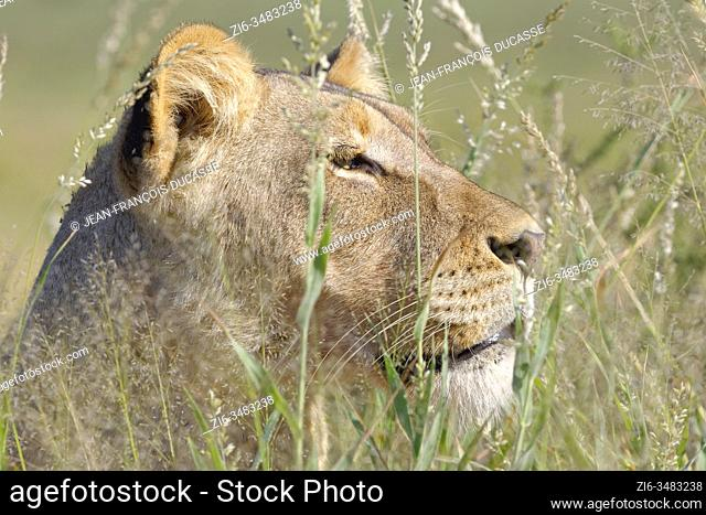 Lioness (Panthera leo), adult female, standing in high grass, close-up of the head, Kgalagadi Transfrontier Park, Northern Cape, South Africa, Africa