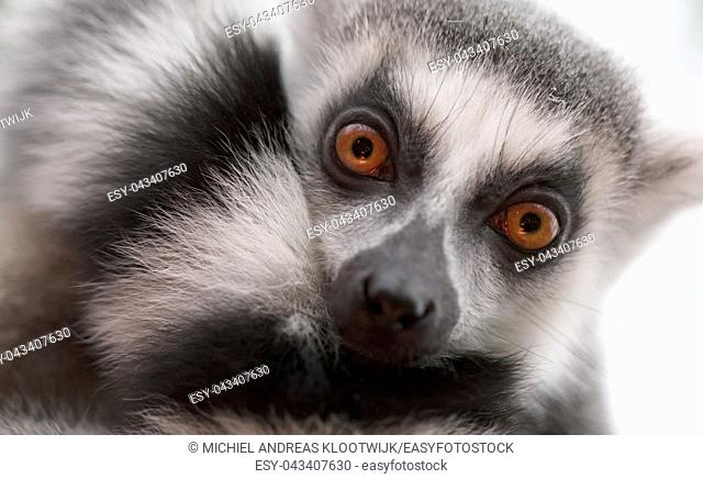 Close up portrait of ring-tailed lemur