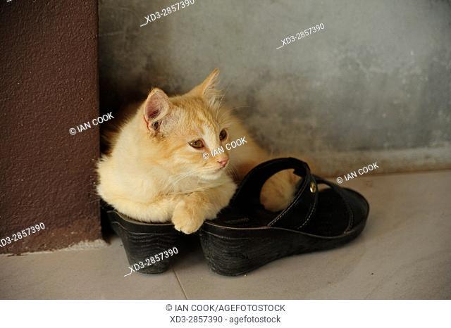 kitten on a shoe, Krabi LIfe Homestay, Khlong Phon, Krabi, Thailand