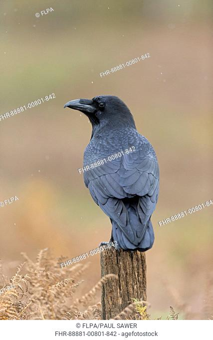 Common Raven (Corvus corax) adult, standing on post among bracken in autumn colour, England, UK, October, controlled subject