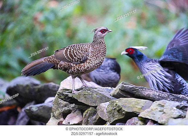 Kalij pheasant, Lophura leucomelanos, Sattal, Uttarakhand, India