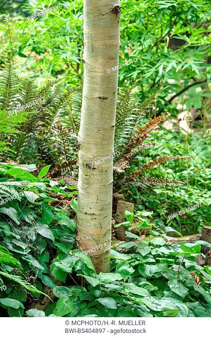 Erman's Birch, Russian Rock Birch (Betula ermanii var. japonica), trunk, United Kingdom