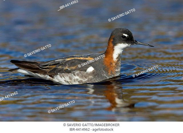 Red-necked Phalarope (Phalaropus lobatus), adult bird swimming in a pond, Vardø, Finnmark, Norway