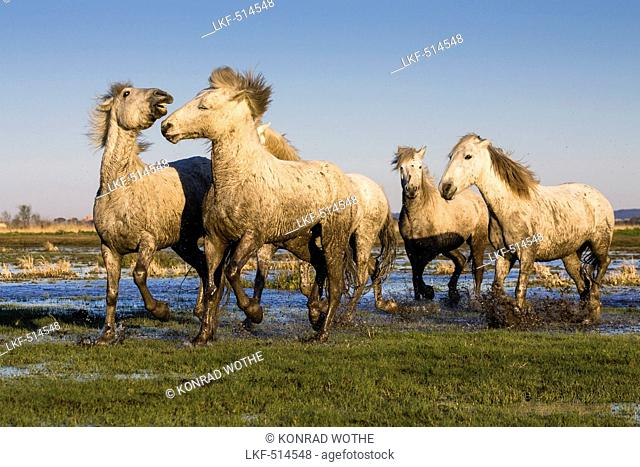 Camargue horses, Camargue, France, Europe
