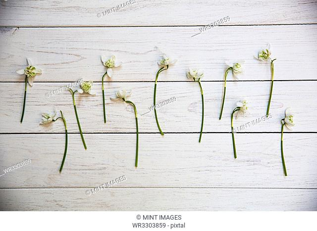 High angle close up of bunch of snowdrops on white wooden table
