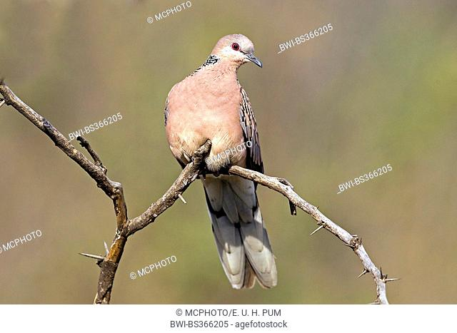 Spotted-necked dove (Streptopelia chinensis), resting on a branch, India, Ranthambhore