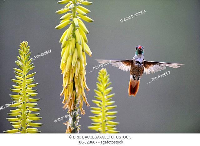 Amazilia hummingbird flying to agave flower to feed on it (Amazilia amazilia) Chaparri Ecological Reserve, Peru, South America