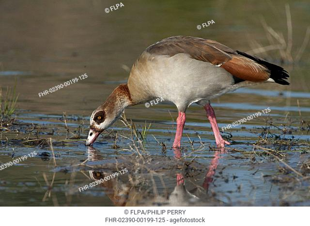 Egyptian Goose (Alopochen aegyptiacus) adult, feeding in shallow water, Chobe River, Chobe N.P., Botswana, June