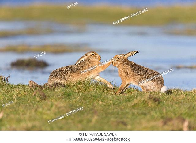 European Hare (Lepus europeaus) adult pair, 'boxing', female fighting off male on grazing marsh, Suffolk, England, March