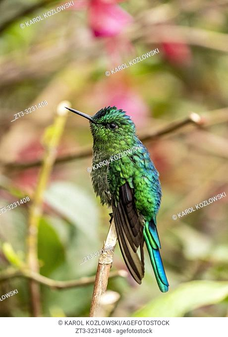 Colibri Hummingbird, La Montana, Salento, Quindio Department, Colombia