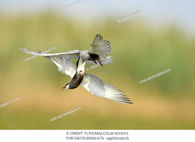 Whiskered Tern (Chlidonias hybrida) two adults, breeding plumage, fighting in flight, Danube Delta, Tulcea, Romania, May