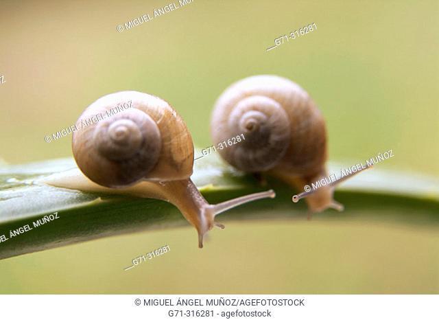 Common garden snails (Helix aspersa) climbing an Aloe (Aloe vera) leave