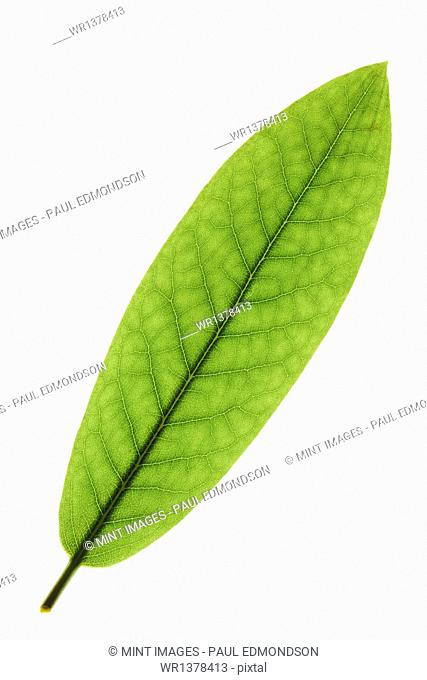 Close up of Rhododendron leaf on white background