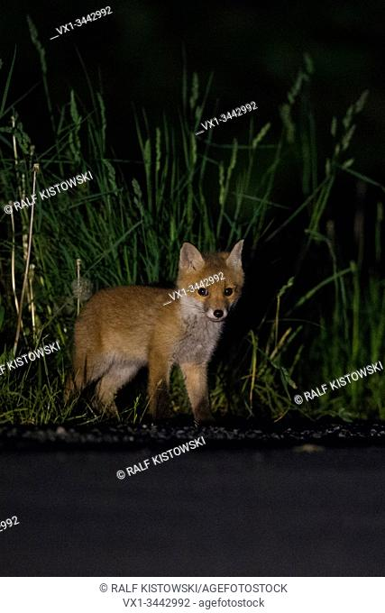 Red Fox / Rotfuchs ( Vulpes vulpes ) stands next to a road, at night, young animal, cub, wildlife, Europe.
