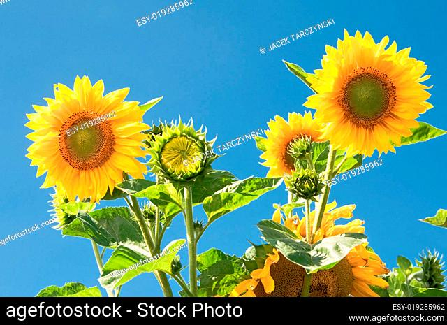 sunflowers on blue sky background