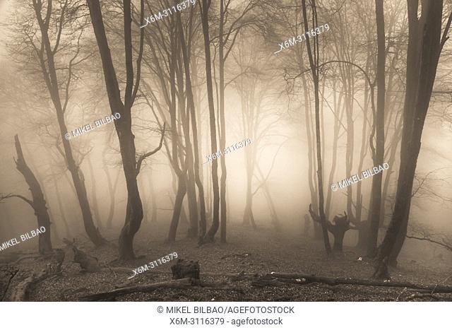 Beechwood. Señorio de Bertiz Natural Park. Navarre, Spain, Europe