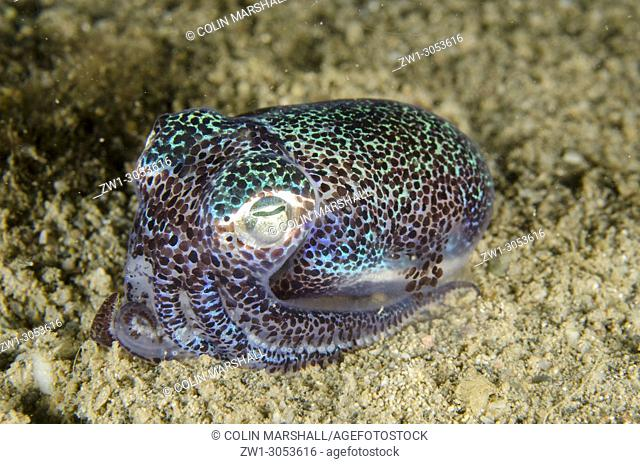 Berry's Bobtail Squid (Euprymna berryi) on sand, Night dive, Dili Rock East dive site, Dili, East Timor (Timor Leste)