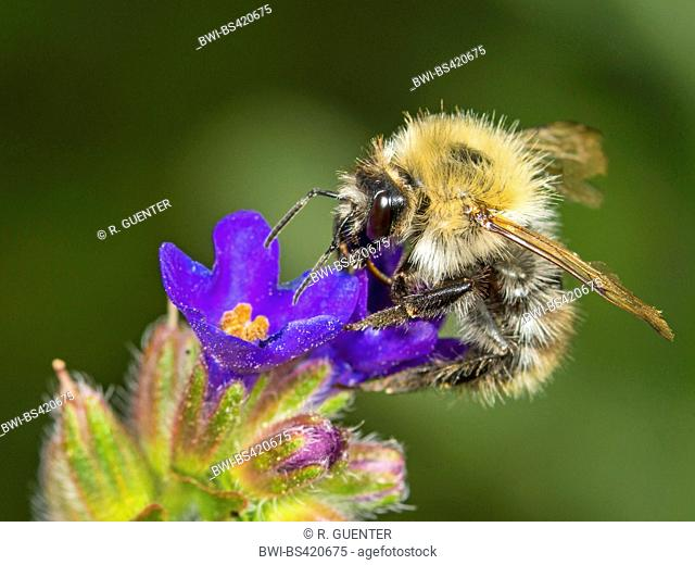 carder bee, common carder bee (Bombus pascuorum, Bombus agrorum), Common Carder Bee worker foraging on Common Bugloss (Anchusa officinalis), Germany