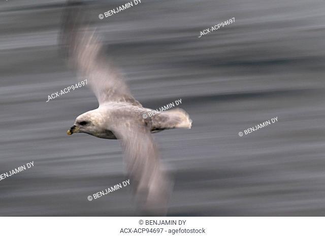 Northern fulmar, Fulmarus glacialis, Svalbard, Norway