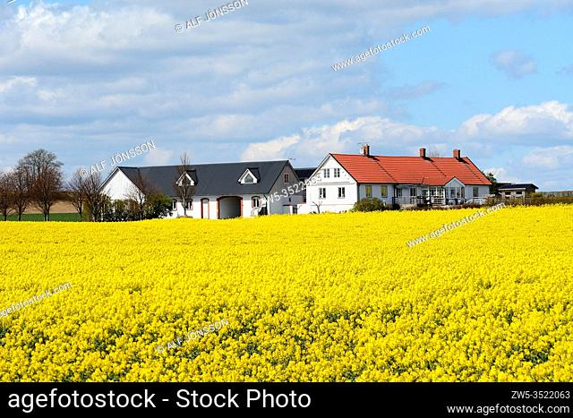 Field of rape with clouds over a farm in Sjörup, Scania, Sweden; Europe