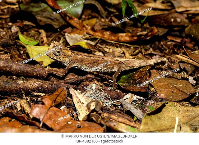 Leaf chameleon (Brookesia Antakarana), male camouflaged on the ground, Amber Mountain National Park, Diana, Madagascar