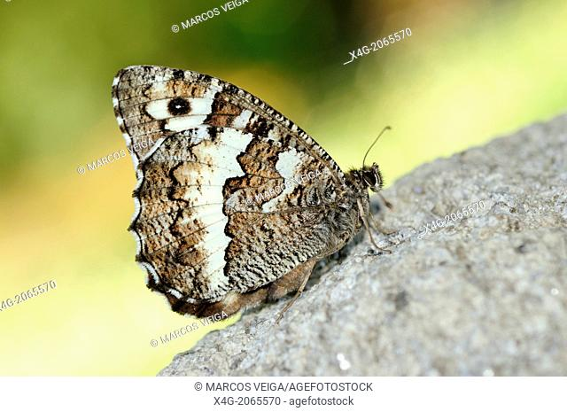 Great Banded Grayling Butterfly (Brintesia circe). Spain