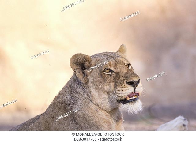 Africa, Southern Africa, South African Republic, Mala Mala game reserve, savannah, Lion (Panthera leo), female resting on the ground