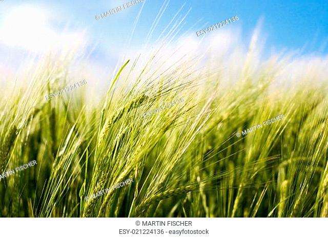 Wheat crop waving in the wind