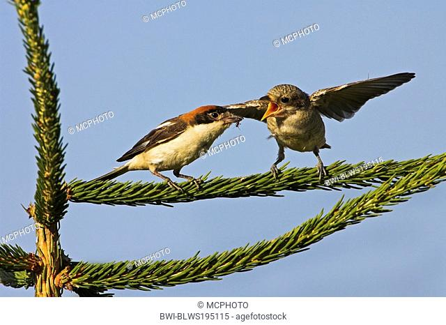 Red-backed shrike x Wood-chat shrike Lanius senator x Lanius collurio, female feeding juvenile, which is a hybrid with red-backed shrike Lanius collurio