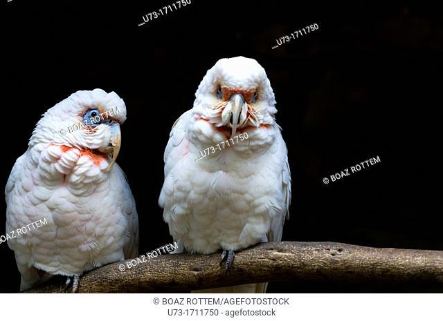 The Long-billed Corella, Cacatua tenuirostris, parrot from Australia