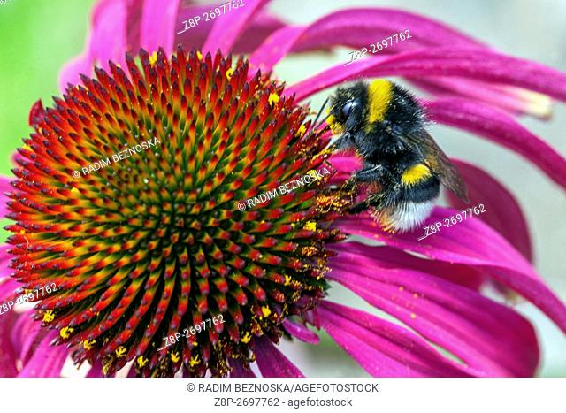 Tennessee coneflower, Echinacea tennesseensis, inflorescences with bumble-bee