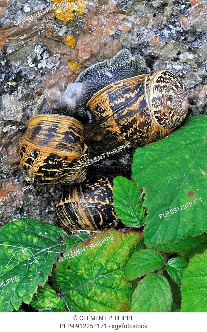 Close-up of Common garden snails Cornu aspersum / Helix aspersa mating / copulating, Brittany, France