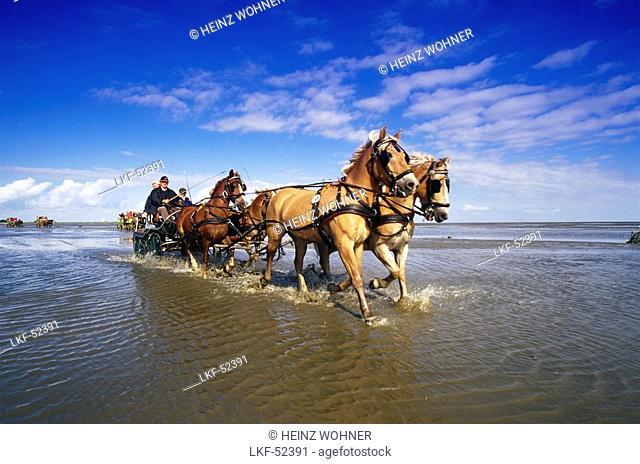Horse-Drawn Carriage Ride to Island Neuwerk, National Park Hamburgisches Wattenmeer, Germany