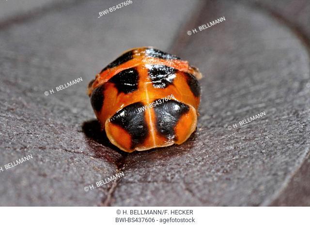 multicoloured Asian beetle (Harmonia axyridis), pupa, Germany