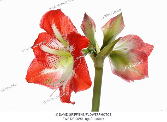 Amaryllis, Amaryllidaceae Hippeastrum, deep pink flower heads on stem against a pure white background