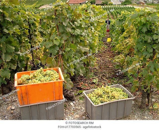 Switzerland, Europe, valais, wallis, Fully, Rhone Valley, Fendant Wine Region, wine harvest, vineyards, green grapes