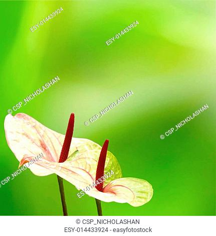 flamingo lily with nice background