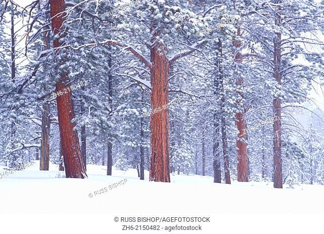 Winter mist and fresh snow on Ponderosa Pines, Bryce Canyon National Park, Utah USA
