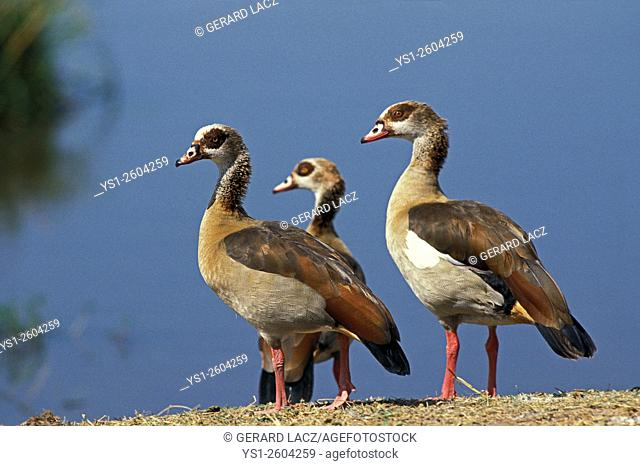 Egyptian Goose, alopochen aegyptiacus, Pair and Chick, Africa