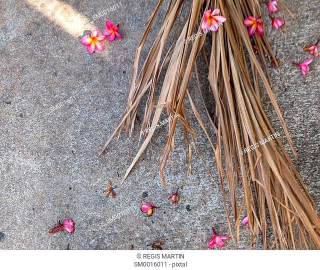 Fallen pink frangipani Plumeria flowers