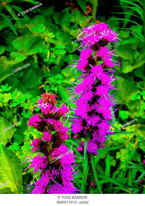 Blazing star prairie wildflower